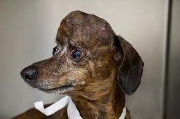 3D列印的植入物為臘腸犬提供了新的頭骨